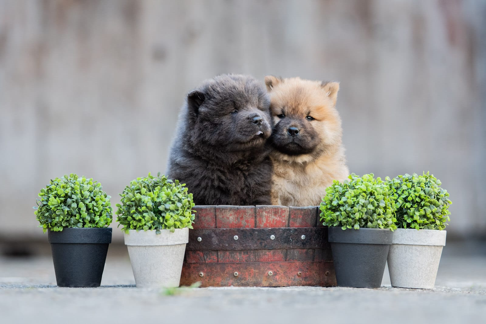 Photo chow chow - photographe animaliere bayonne