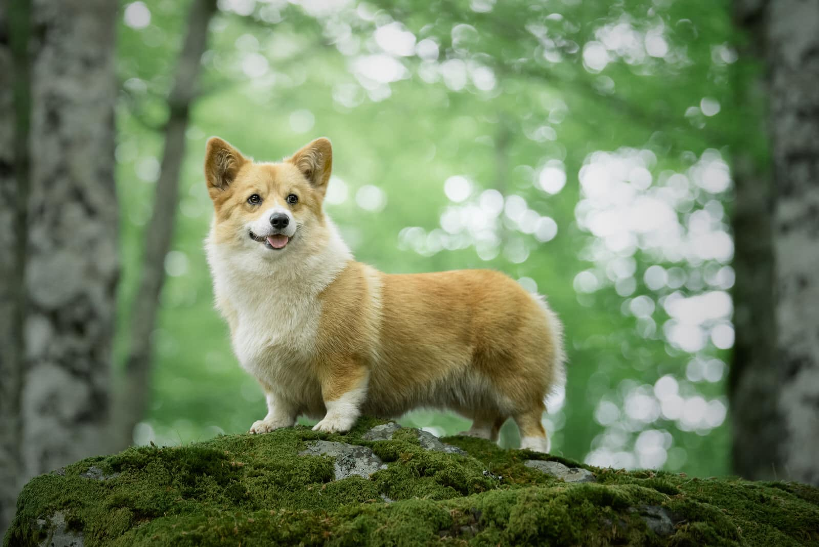 Photo corgi - photographe animaliere bayonne