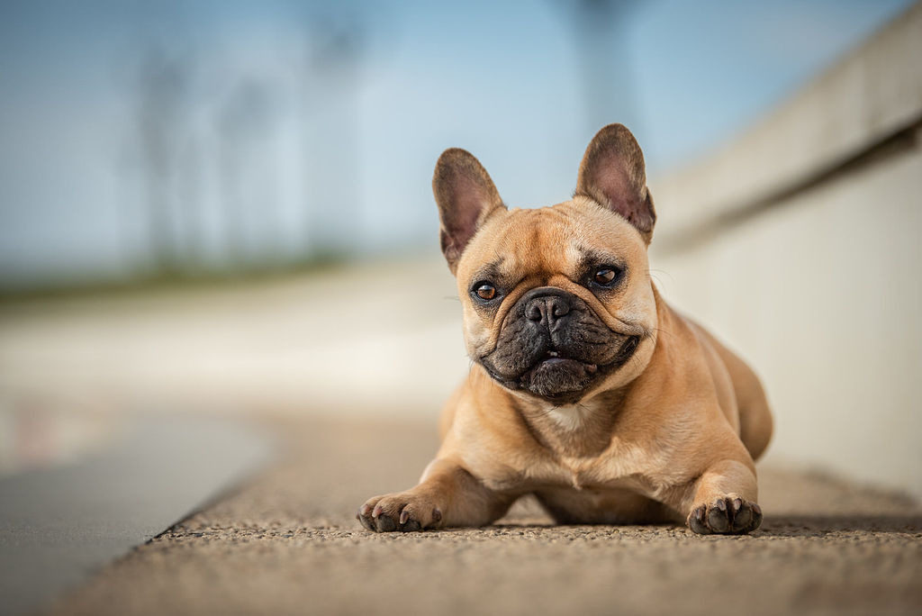 Photo bouledogue - photographe animaliere bayonne