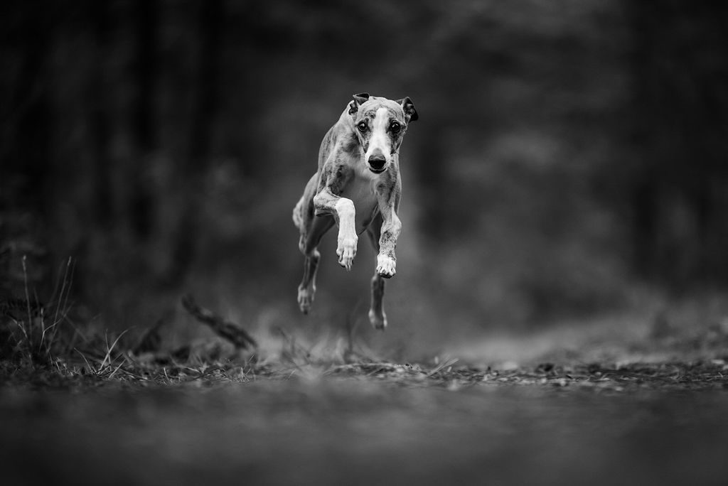 Photo whippet - photographe animaliere bayonne