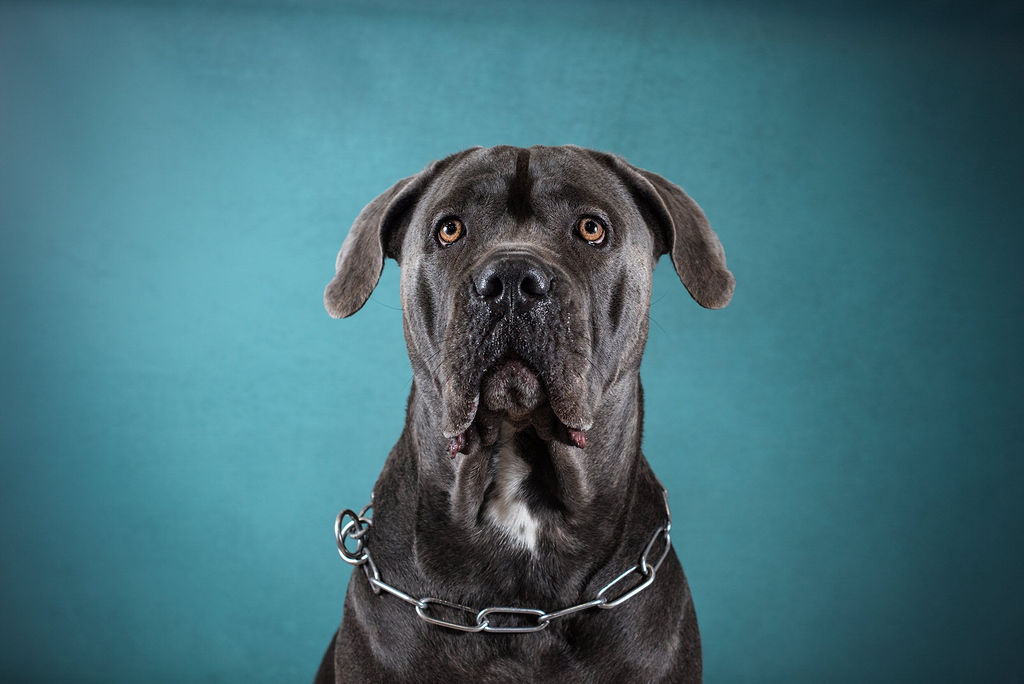 Photo cane corso - photographe animaliere bayonne