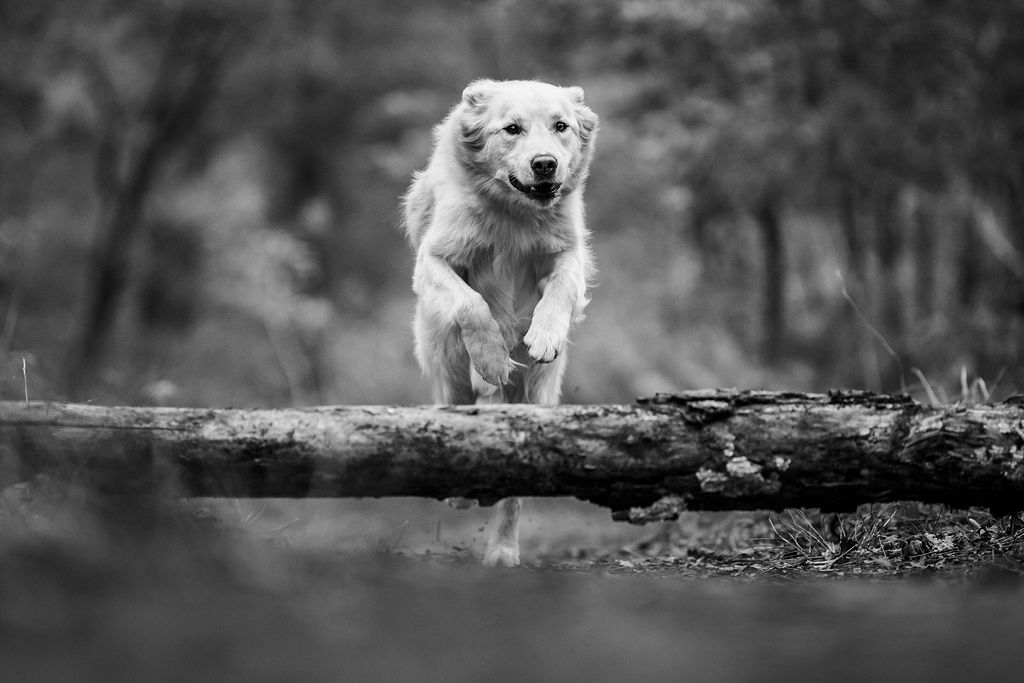 Photo golden retriever - photographe animaliere bayonne