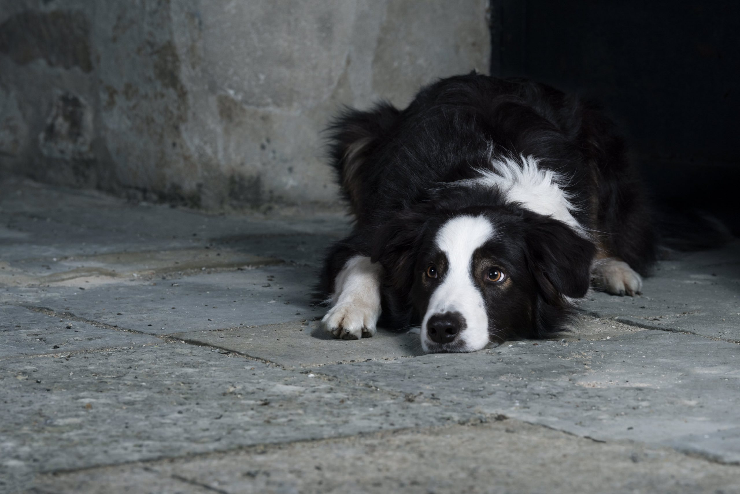 Photo border collie - photographe animaliere bayonne