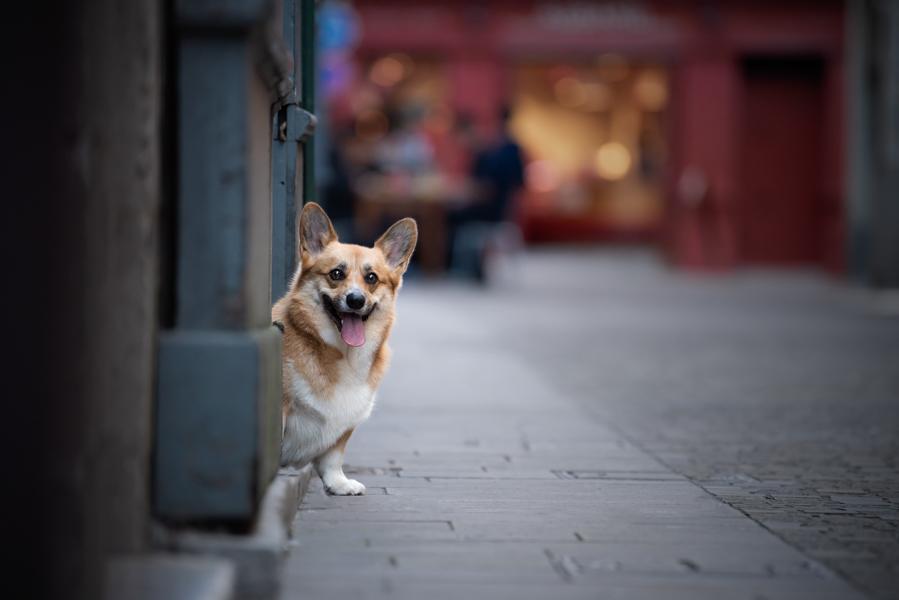 séance photo chien corgi